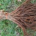 bareroot burr oaks
