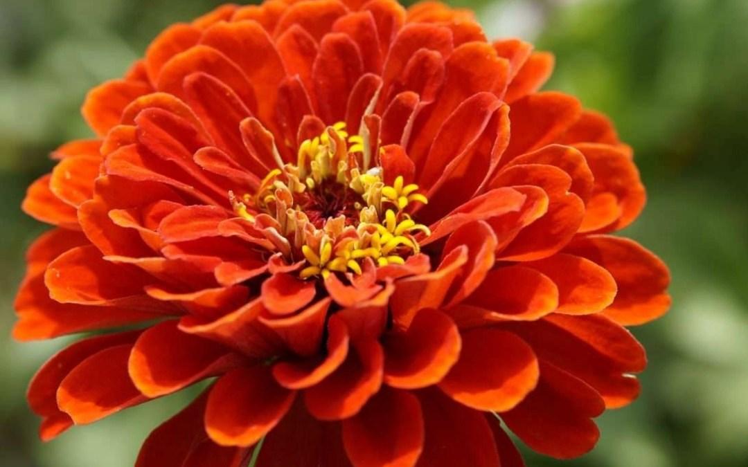 Annuals For Your Garden: Zinnias