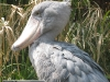 shoebill_zoo_ueno.jpg