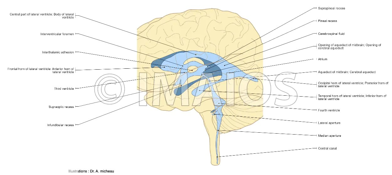 Anatomical diagrams of the brain