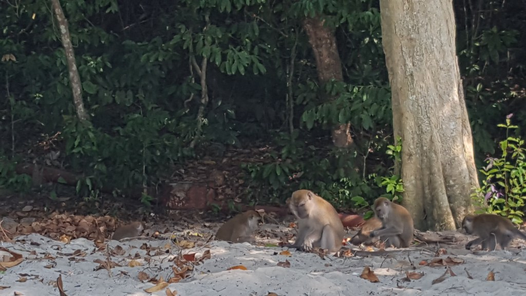 The trash monkeys of Pangkor. I took this photo on our first day on the island, shortly after the alpha male of the pack stole our chips away.