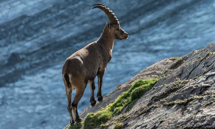 """The Alpine ibex (Capra ibex), or Steinbock, is a species of wild goat that lives in the Alps. The males carry large, curved horns. This Steinbock lives next to the Pasterze glacier in the Austrian National Park """"Hohe Tauern"""" in Carinthia. In the evening, when the tourists leave the region, the shy animals are sometimes seen closer to the hiking trails than usual."""