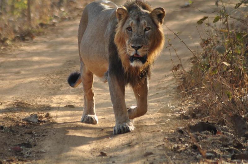 Lion Animal Wallpaper Lions In Gir Trip Report India Travel Forum