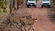 Mehr Tiger bedeutet auch eine größere Chance bei einer Safari Tiger zu sehen. Foto: Brian Gratwicke