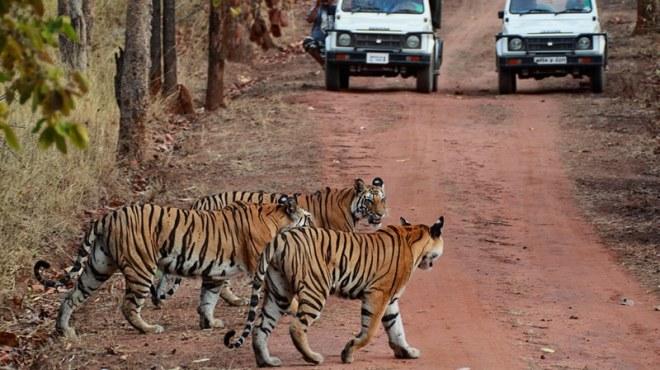 Zahl der Tiger in Indien gestiegen