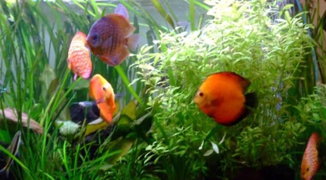 Plantes d 39 aquarium archives infodiscus com infos et for Conseil sur les plantes