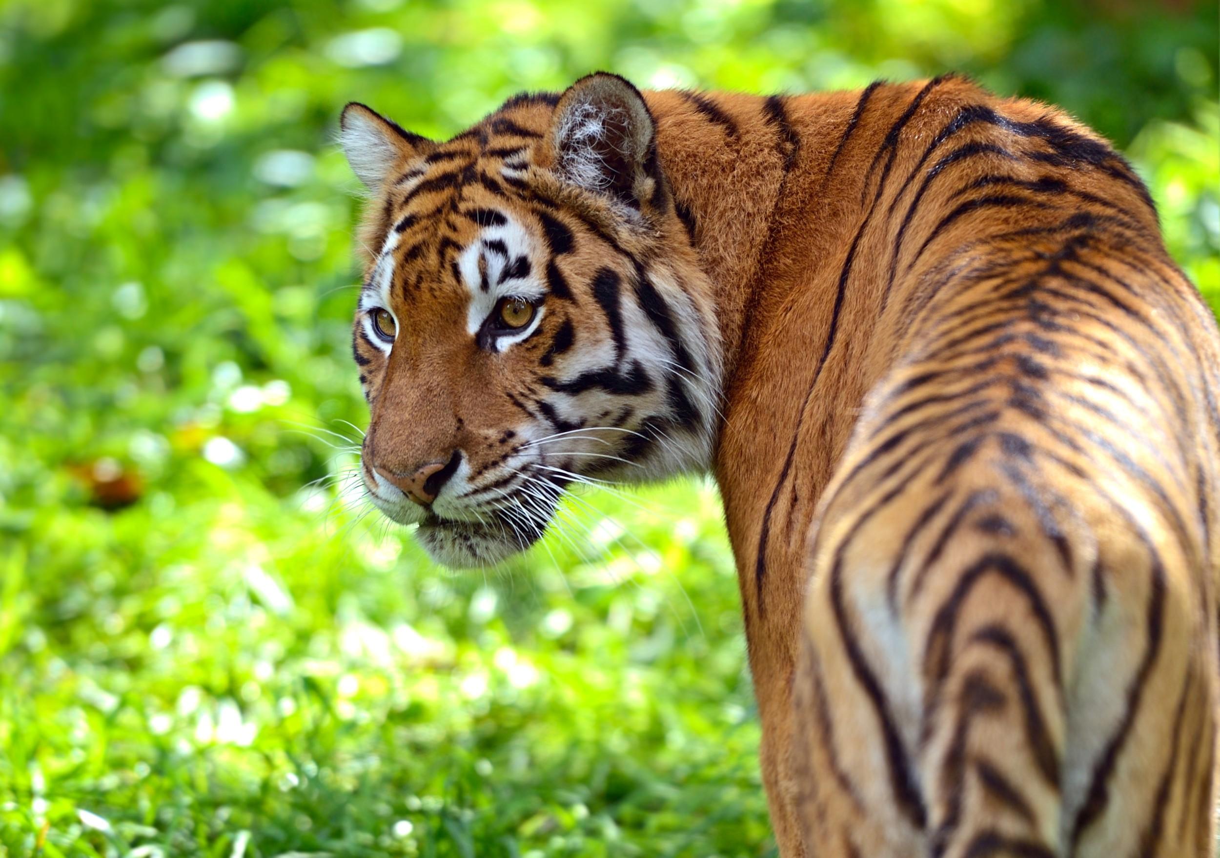 Cute Cubs Wallpaper Tigre Ecologia Caracter 237 Sticas Subesp 233 Cies E Fotos De