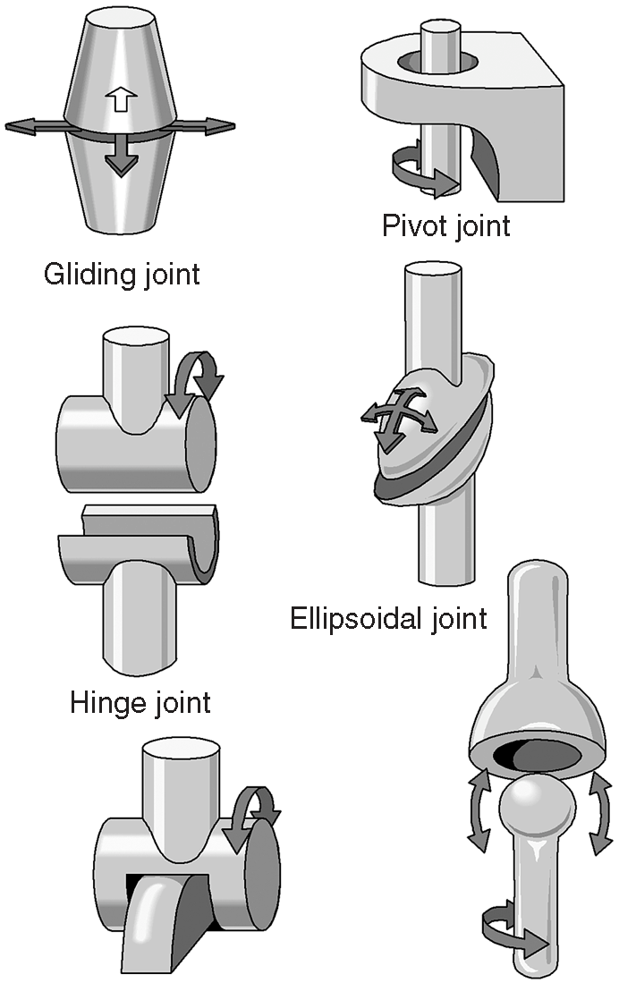 diagram of a synovial diarthrosis joint