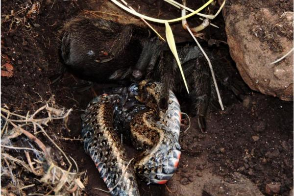 tarantula-eats-snake-in-first-documented-case-in-nature