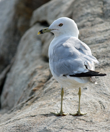 gull at Eastern Point by Barbara Rodgers