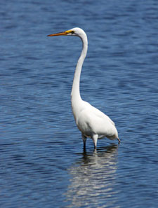 great egret by Barbara Rodgers