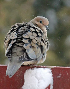 mourning dove by Barbara Rodgers