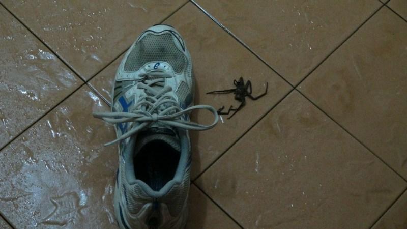 Den ulækre hoppe-edderkop!