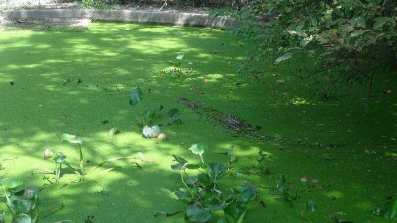 Krokodille godt gemt
