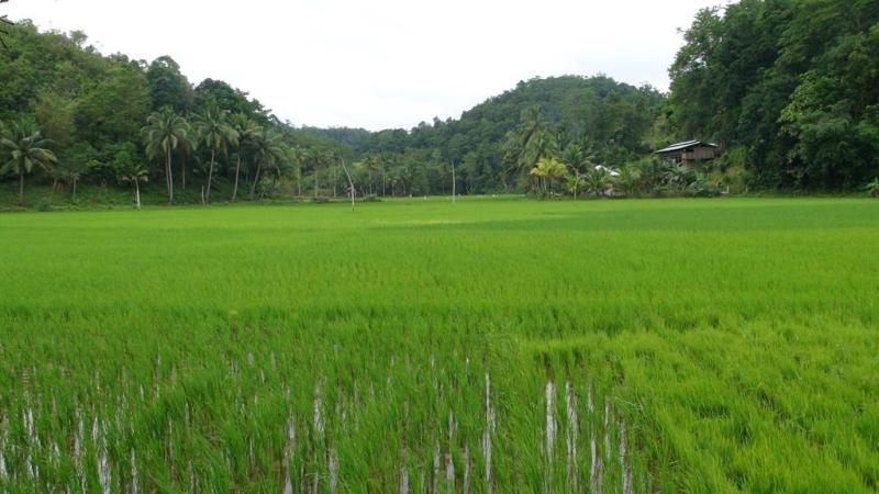 Bohol, filippinerne, rismarker