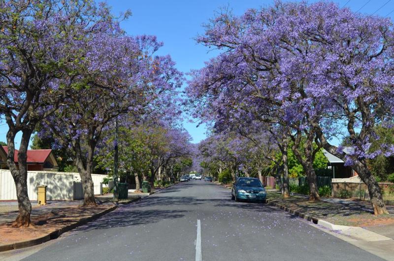 Gaderne omkring Haley's hus var alle fyldt med disse smukke træer.