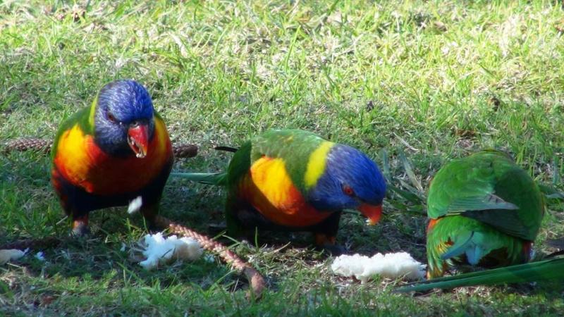 Smukke regnbue papegøjer på vores plads for natten