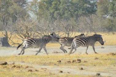 4. Moremi Game Reserve 1 (14)