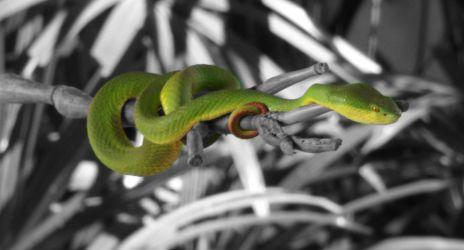 New Grøn slange, bangkok
