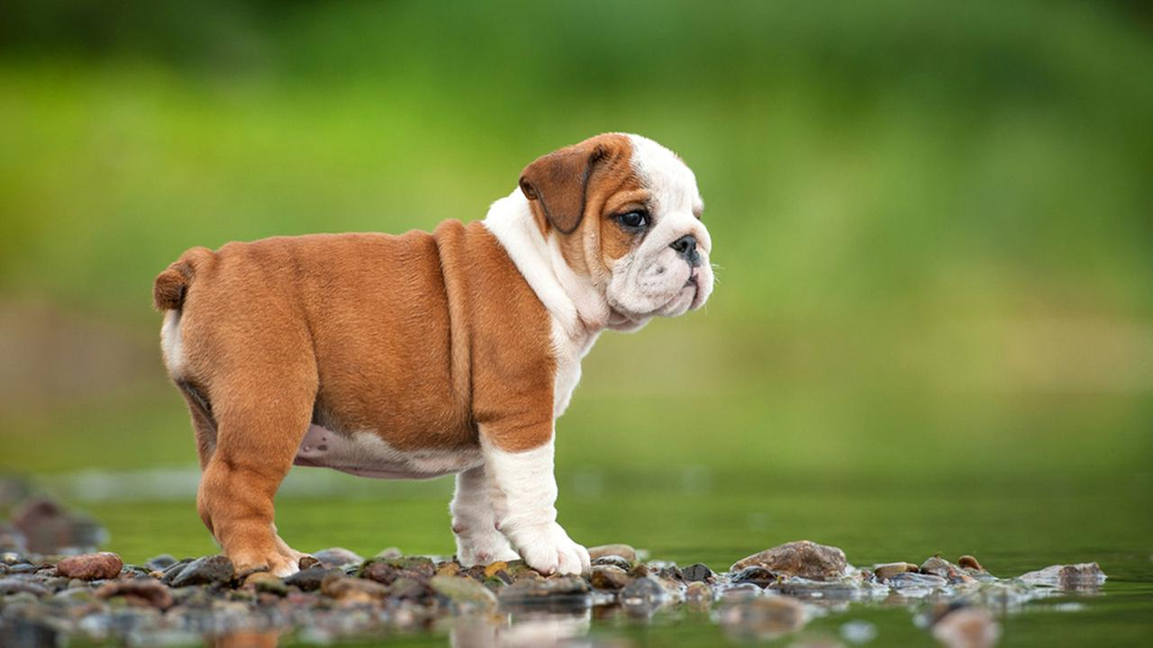 25 Beautiful Bulldog Puppies That Will Melt Your Heart