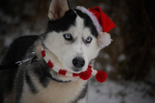 Cute Husky Wallpaper Adorable Huskies Dressed For Christmas Inside Dogs World