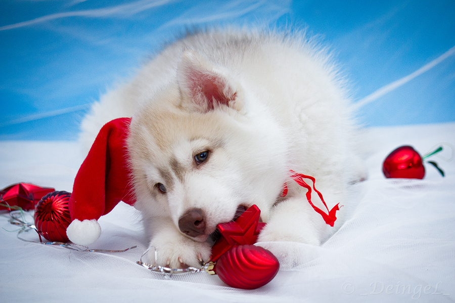 Fall In Love Again Wallpapers Adorable Huskies Dressed For Christmas Inside Dogs World