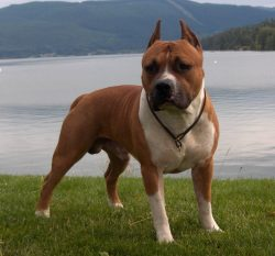 Small Of Do Pitbulls Shed