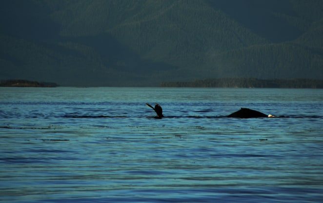 Watching whales in Alaska - such a wonderful experience from @insidetravellab