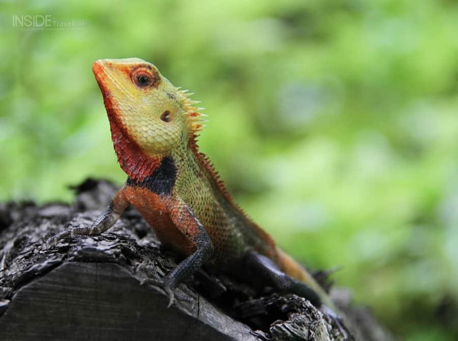 Maldives amphibian