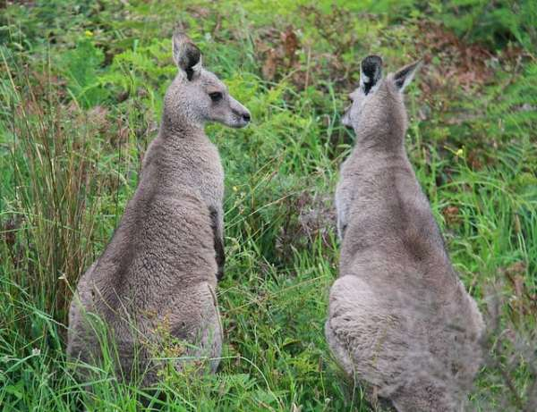 Two kangaroos sitting on the grass near the Great Ocean Road