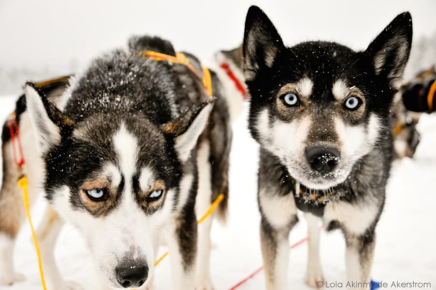 Huskies in Sweden
