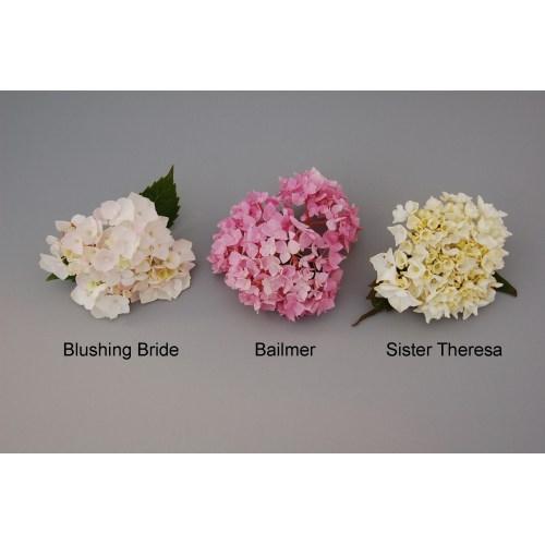 Medium Crop Of Blushing Bride Hydrangea