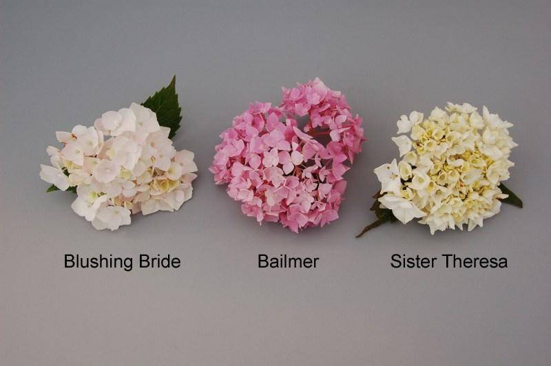 Large Of Blushing Bride Hydrangea