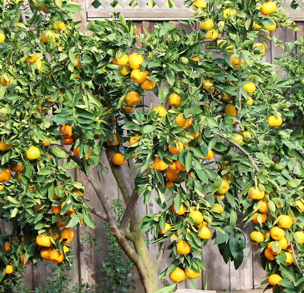 winter white salad with mandarin and pomegranate_tree_2