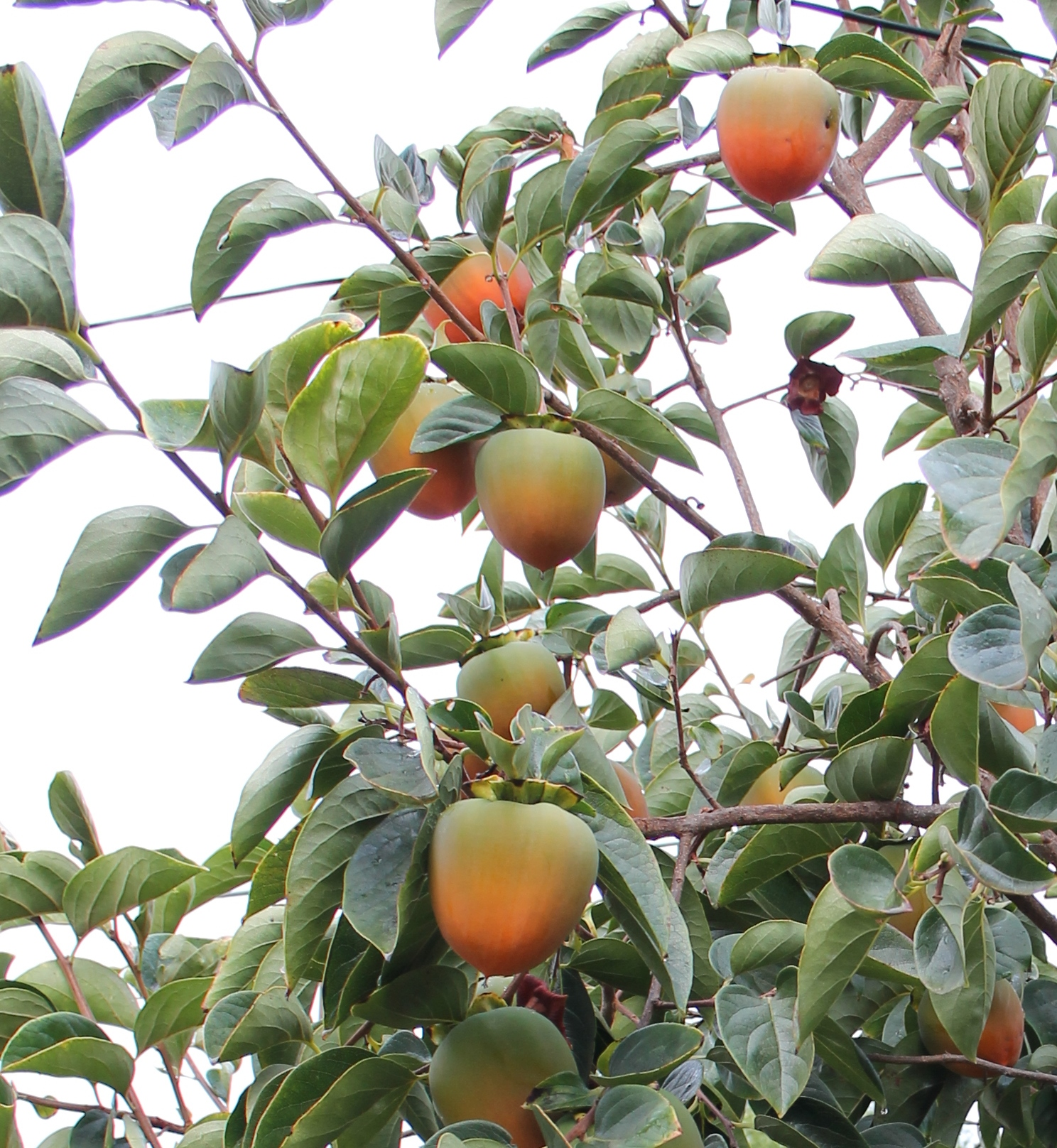 Hachiya Persimmon Tree_Inspired Edibles