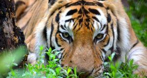 The Crown Ridge Tiger Sanctuary celebrates International Tiger Day