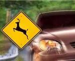 Deer and Auto Accident