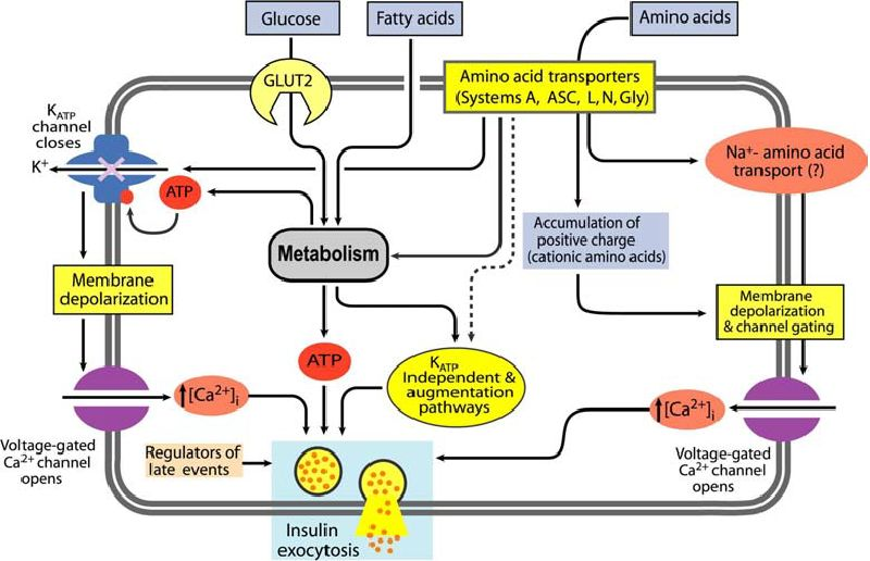 The Impact of Inflammation on Pancreatic β-Cell Metabolism, Function