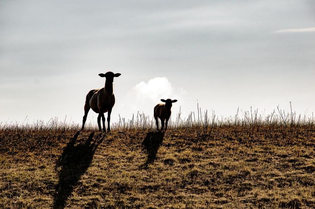 sheep-1506264_1280