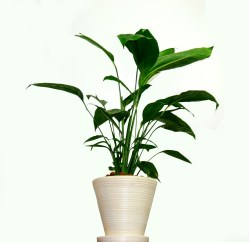 Peace Lily Plant Care: Best Method for Beautiful Foliage and Fragrant ...