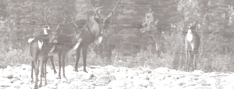 Caribou along the Keele River (Begade)