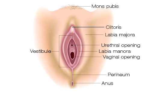 normal labia