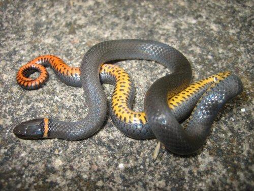 Medium Of Baby Black Snake