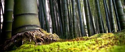 Bambu raices