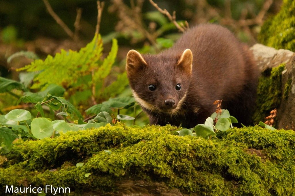 Friends in high places: red squirrels, grey squirrels and pine martens