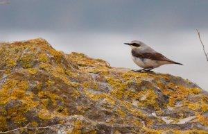 Wheatear, spring migration Ireland