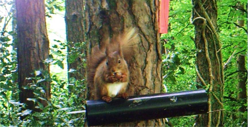 The history of the Red Squirrel in Ireland
