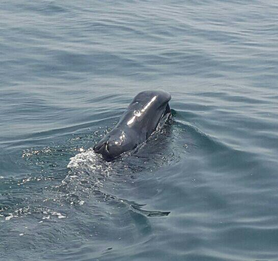 New whale species for Ireland: Bowhead Whale confirmed at Carlingford