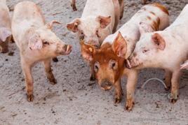 schweinische Zärtlichkeiten