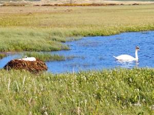 Swan on nest with cob